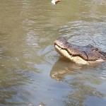 9.9.13 HIST Gator Peaking Out